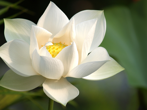 ** Beautiful White Lotus Flower, from sxc.hu, cjn, photo 578475 **